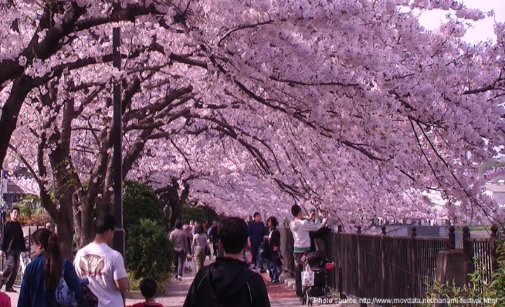 Best Festivals In Southeast Asia - Cherry Blossom Festival Japan (3)
