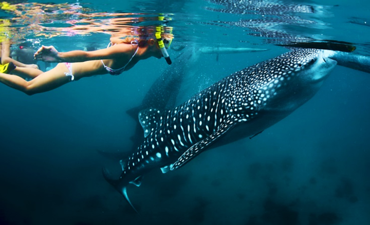 Top 10 Things To Do in Australia - Swimming with whale sharks
