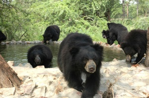 Agra-Bears-10-