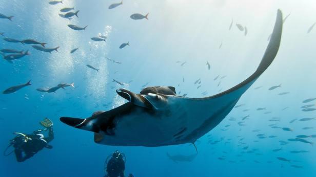 manta-ray-koh-bon-scuba-diving-livaboard-scuba-diving-phuket