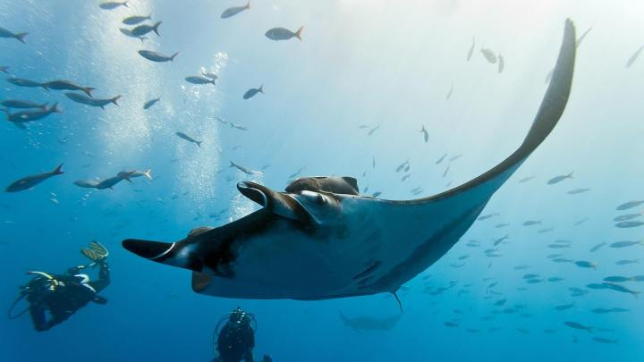manta-ray-koh-bon-scuba-diving-livaboard-scuba-diving-phuket