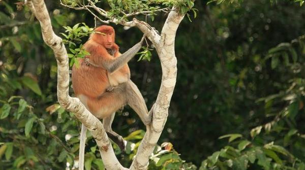 full-day-sepilok-orangutan-and-labuk-bay-proboscis-monkey-from-in-sandakan-247229