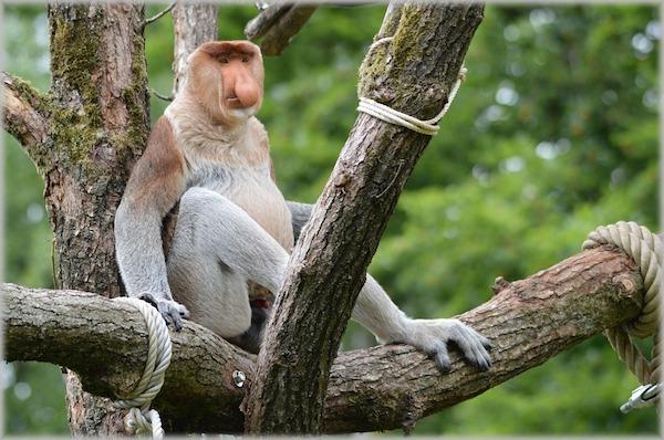 Bako National Park Wildlife Proboscis Monkey Borneo