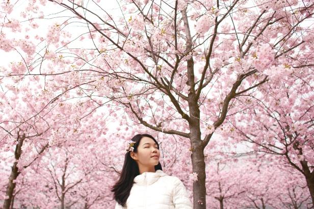 Cherry Blossom Festival Guide 2017